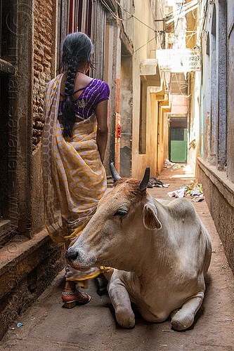 cow and indian woman in narrow street (india), lying down, narrow, resting, saree, sari, street cow, varanasi, walking, woman