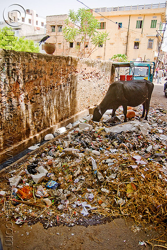 cow attempting to recycle trash full of plastic - jaipur (india), environment, garbage, india, jaipur, plastic trash, pollution, single-use plastics, street cow