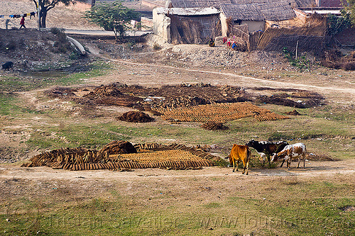 cow dung drying in a field (india), cow manure, cow pats, cow pies, cows, dried cow dung, dry cow dung, drying, field, gobar, india, khande