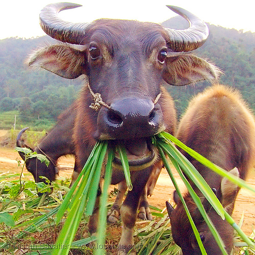cow eating grass - water buffalo, chewing, cow nose, cow snout, cows, head, three, water buffaloes