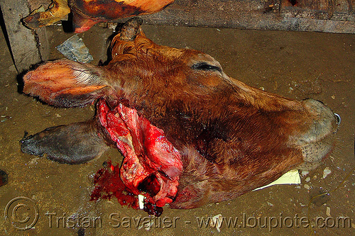 cow head - severed, animal rights, beef, carcass, cow head, meat market, meat shop, raw meat, severed head, vietnam