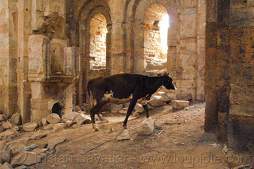 cow in the otkhta monastery - Dört church - georgian church ruin (turkey), byzantine, cow, dort church, dört kilise, georgian church ruins, orthodox christian, otkhta ecclesia, otkhta monastery