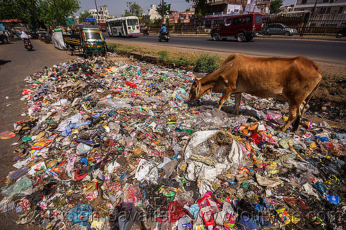cow looking for food among plastic trash (india), dump, environment, garbage, people, pollution, road, rubbish, street, street cow, traffic