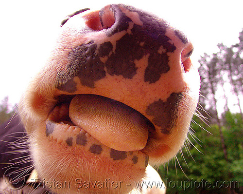 cow nose - tongue, cow nose, cow snout, nostrils, pink nose, pink snout, sticking out tongue, sticking tongue out