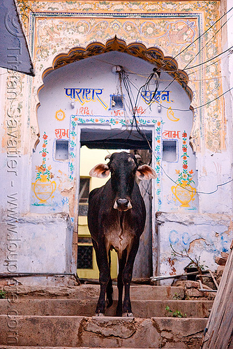 cow - pushkar (india), door, india, pushkar, street cow