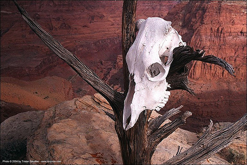 cow skull in desert - paria canyon (utah), cow skull, dead