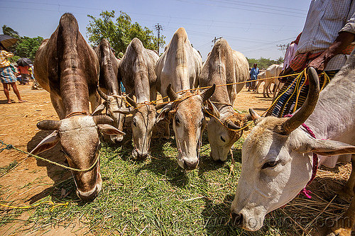 cows eating hay (india), cattle market, cows, eating, hay, leash, ropes, west bengal