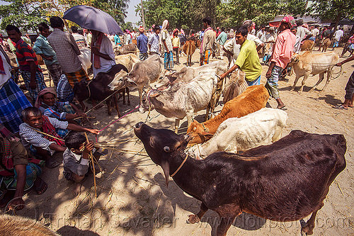 cows on leash at cattle market (india), cattle market, cows, crowd, india, leash, ropes, west bengal