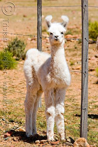 cria - baby llama, altiplano, baby llama, cria, fence, fluffy, fuzzy, noroeste argentino, offspring, pampa, quebrada de humahuaca