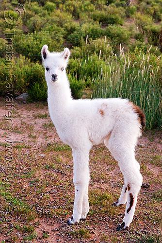 cria, altiplano, baby llama, cria, fluffy, fuzzy, lumara, lumará, noroeste argentino, offspring, pampa, quebrada de humahuaca, white