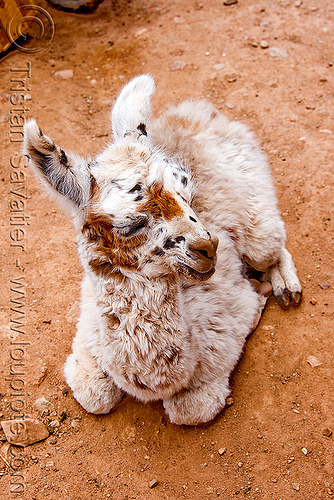 cria - baby llama on the ground, abra el acay, acay pass, lama glama, noroeste argentino, offspring