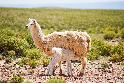 cria - baby llama suckling mother llama, altiplano, baby llama, cria, female, llamas, mother, noroeste argentino, nurning, nursing, offspring, pampa, quebrada de humahuaca, suckling