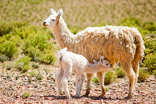 cria - baby llama suckling, altiplano, baby llama, cria, female, llamas, mother, noroeste argentino, nurning, nursing, offspring, pampa, quebrada de humahuaca, suckling