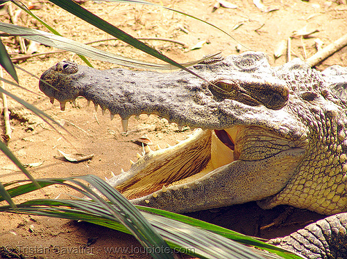 crocodile teeth - vietnam, crocodile farm, head, teeth, vietnam crocodiles, wildlife