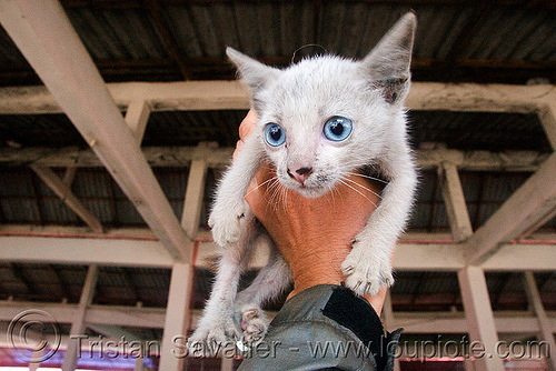 cute blue eyed kitten (laos), blue eyes, cat, claws, hand, holding, legs, stray cat, white, white cat