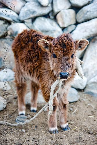calf, baby cow, calf, fur, furry, ladakh, rope, spangmik