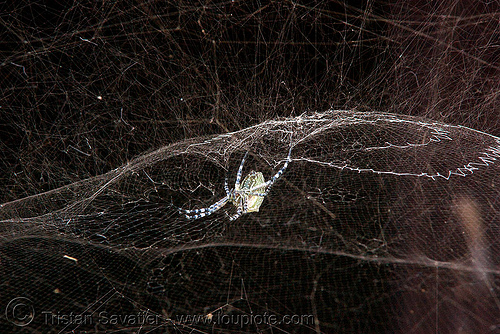 cyrtophora spider and web (laos), cyrtophora, laos, spider web, wildlife
