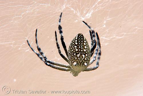 spider - luang prabang (laos), luang prabang, spider, wildlife