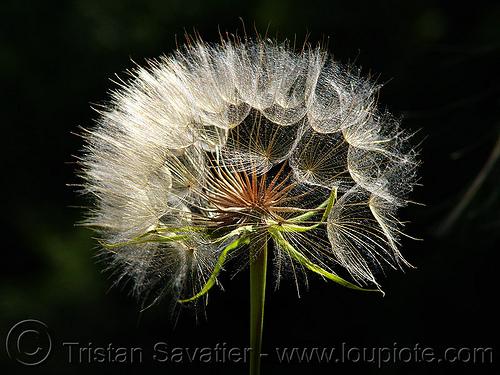 dandelion, dandelion, floret, flower head, plant, seeds, taraxacum, българия