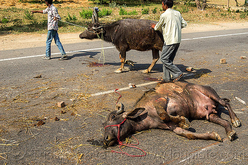 dead and injured water buffaloes after truck accident (india), carcass, cows, crash, dead, injured, lying, men, road, ropes, traffic accident, truck accident, water buffaloes