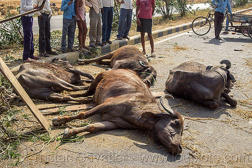 dead and injured water buffaloes spilled on road after truck accident (india), carcass, carcasses, cows, crash, dead, india, injured, lying, men, road, traffic accident, truck accident, water buffaloes