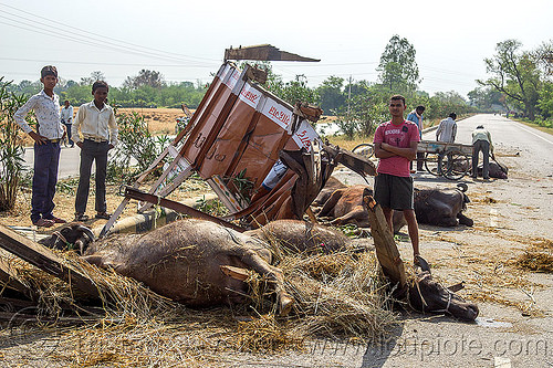 dead and injured water buffaloes spilled on road after truck accident (india), carcass, carcasses, cows, crash, dead, hay, india, injured, lying, men, road, traffic accident, truck accident, water buffaloes