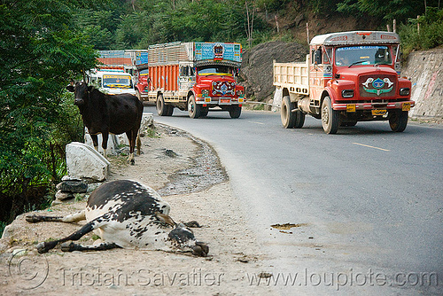 dead cow and live cow - kashmir, carcass, carrion, cows, dead cow, decomposing, kashmir, road kill, trucks