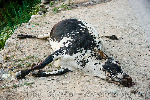 dead cow on road side, carcass, carrion, dead cow, decomposing, india, kashmir, road kill