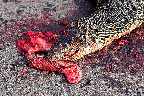dead monitor lizard, borneo, carcass, carrion, dead, giant lizard, gory, guts, head, malaysia, monitor lizard, road kill, varanus salvator macromaculatus, water monitor, wildlife