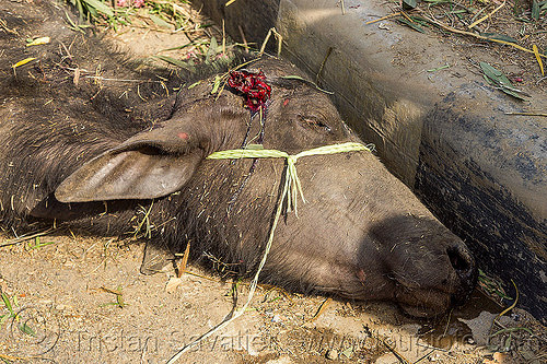 dead water buffalo after truck accident (india), carcass, cow, crash, injured, lying, road, traffic accident