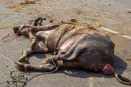 dead water buffalo killed in truck accident (india), carcass, cow, crash, dead, india, injured, lying, men, road, traffic accident, truck accident, water buffalo