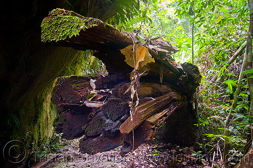 decaying tree trunk, bako, borneo, dead wood, decaying, kuching, malaysia, rotten, tree log, tree logging, tree trunk
