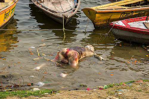 decomposed body of dead man floating on the ganges river (india), bloated, blood, cadaver, corpse, dead, death, decomposed body, decomposing, floating, ganga, ganges river, hindu, hinduism, human remains, india, man, putrefied, river bank, river boats, varanasi
