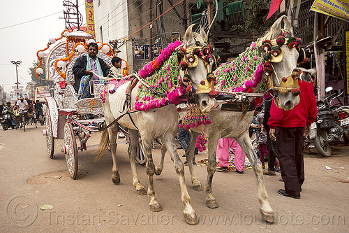 decorated horses and carriage going to a wedding (india), decorated horses, horse carriage, horse cart, street, varanasi