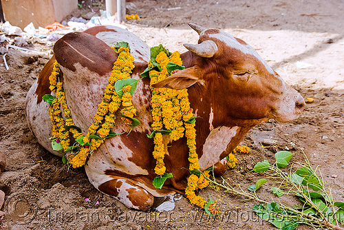 decorated street cow - sanawad (india), flower offerings, flowers, holy bull, holy cow, india, sacred bull, sanawad, street cow