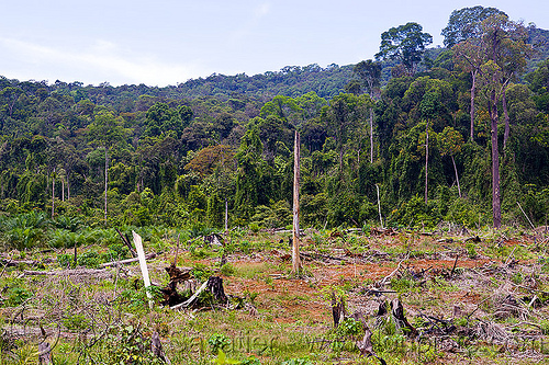 deforestation - rain forest cleared for plantation (borneo), borneo, clear cut, deforestation, environment, logging, malaysia, rain forest, tree stumps