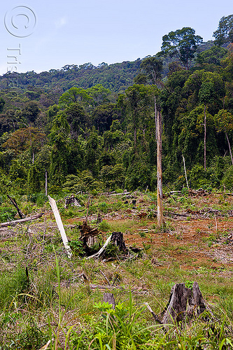 deforestation - rain forest destruction (borneo), borneo, clear cut, deforestation, environment, logging, malaysia, rain forest, tree stumps