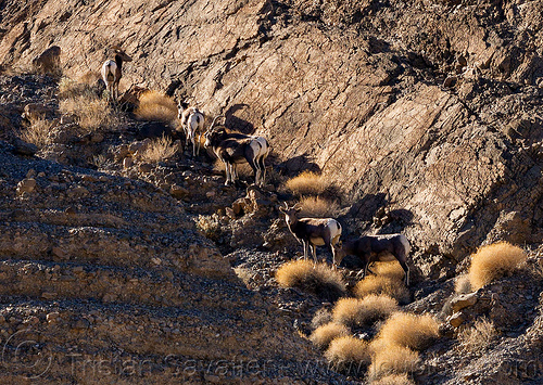 desert bighorn sheep - death valley, death valley, desert bighorn sheep, grotto canyon, wildlife