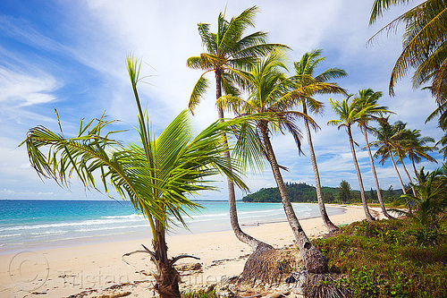 desert tropical beach with coconut tree row (borneo), beach, borneo, coconut palm, coconut trees, malaysia, palm trees, sand, seashore, tree row