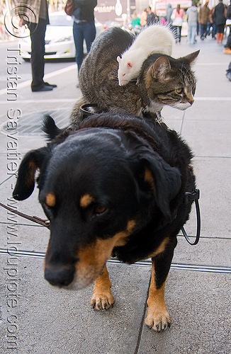 dog, cat and rat - pets, cat, dog, gregory pike, helpdogcatrat, mouse, performing animals, pet rat, white rat