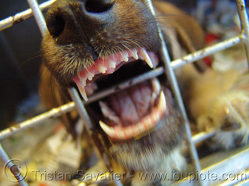 dog in cage, biting, cage, canine, dog, incisors, mouth, snout, teeth