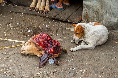 dog looking at severed cow head (india), beef, cow feet, cow head, dog, east khasi hills, india, meat market, meat shop, meghalaya, pynursla, raw meat, severed head
