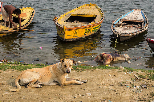 dog near decomposed body floating on the ganges river (india), bloated, blood, bloody, cadaver, corpse, dead, death, decomposed body, decomposing, floating, ganga river, ganges river, grisly, gruesome, hindu, hinduism, human remains, lying, macabre, man, mooring, morbid, putrefied, resting, river bank, river boats, stray dog, varanasi, water