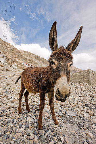 donkey - nubra valley - ladakh (india), asinus, diskit, donkey, equus, feral donkeys, gompa, ladakh, nubra valley, tibetan monastery