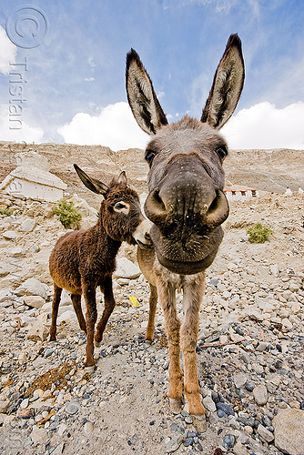 donkeys - nubra valley - ladakh (india), asinus, diskit, equus, feral donkeys, gompa, ladakh, nubra valley, snout, tibetan monastery
