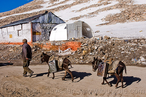 donkeys with jerrycans - chang-la pass - ladakh (india), asinus, chang pass, chang-la pass, donkeys, equus, jerrycans, ladakh, man, mountain pass, mountains, working animals