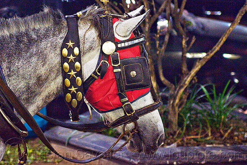 draft horse with bridle, hood and blinders, bridle, draft horse, draught horse, horse hood, horse mask, java, jogja, jogjakarta, malioboro, night, street, white horse, yogyakarta