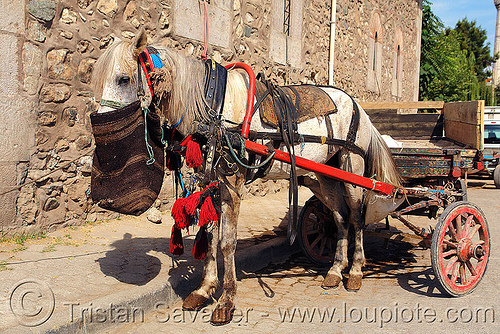 draft horse with feed bag, draft horse, draught horse, feed bag, horse carriage, horse cart, work horse