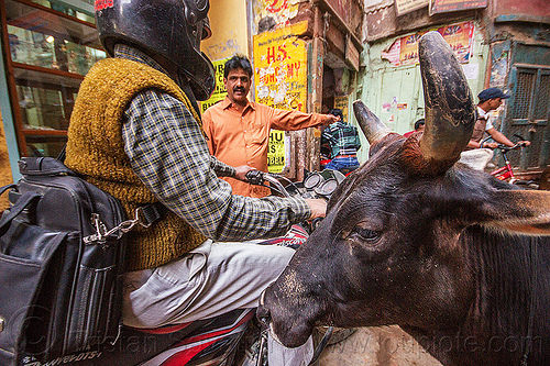 driving a motorcycle in india, horns, men, motorbike, motorcycle, narrow street, rider, riding, street cow, varanasi