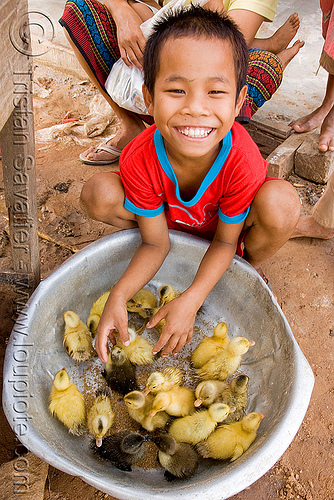 ducklings and kid (laos), baby ducks, birds, boy, child, ducklings, kid, laos, poultry